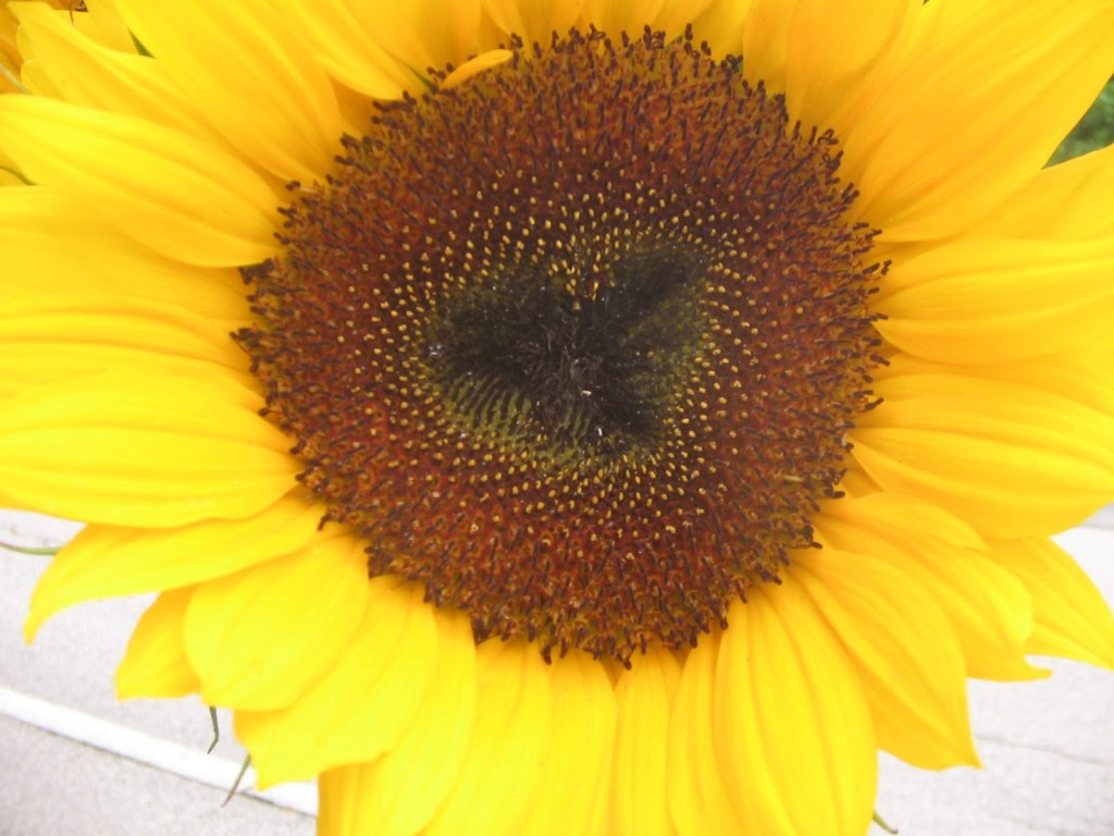 I-heart-sunflowers