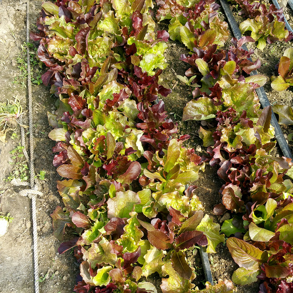 Red Valentine Lettuce Mix | Blue Skys Farm | Cranston, RI
