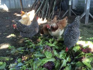 Chickens LOVE salad mix!