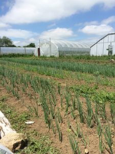 Onions and shallots