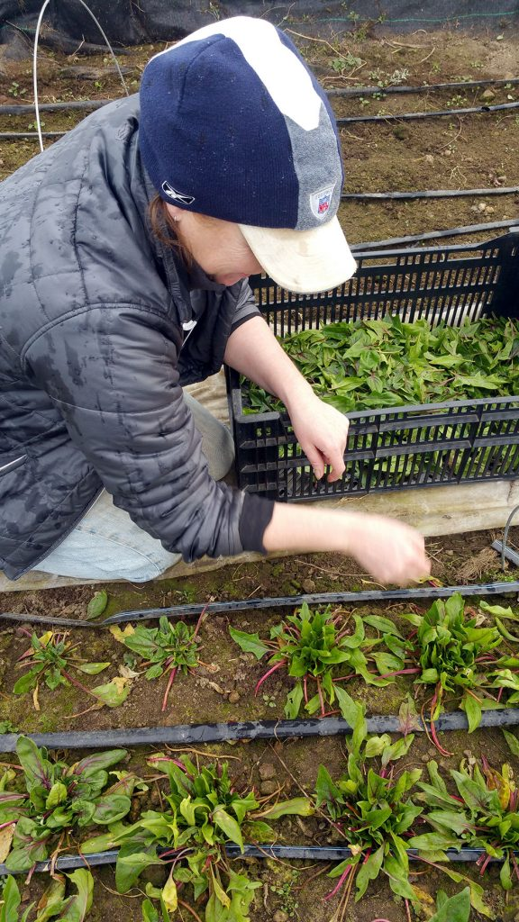 Kim harvesting Red Bordeaux Spinach | Blue Skys Farm, Cranston, RI