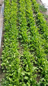 A new crop of arugula | Blue Skys Farm | local food | Cranston, RI