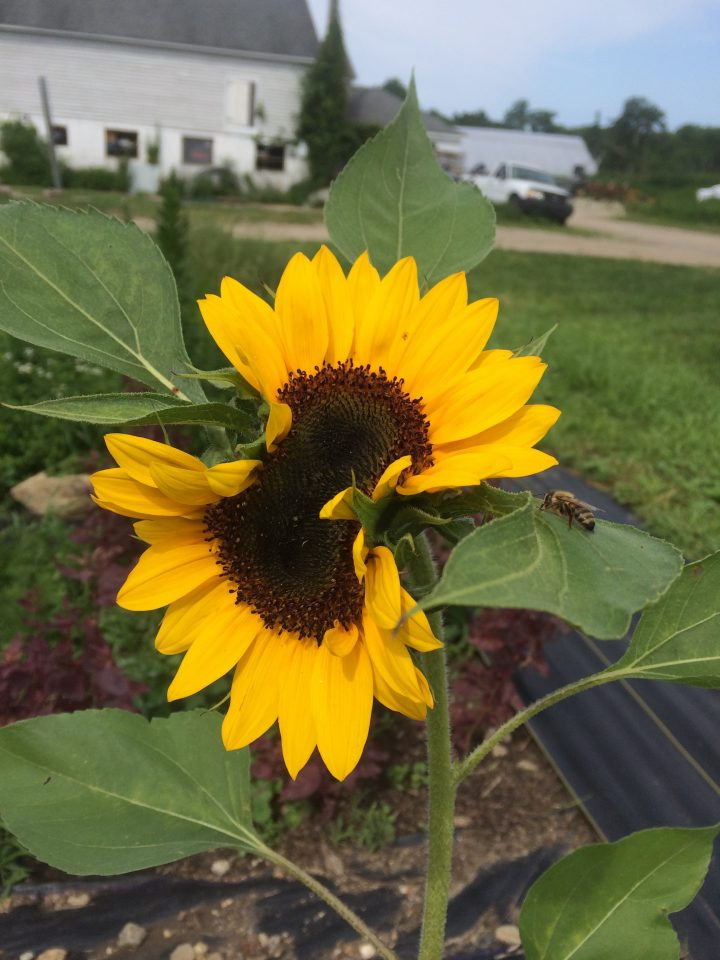 double headed sunflower