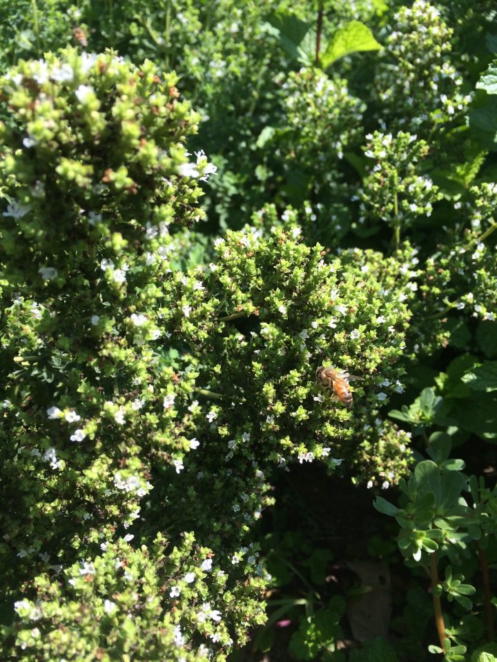 bee oregano