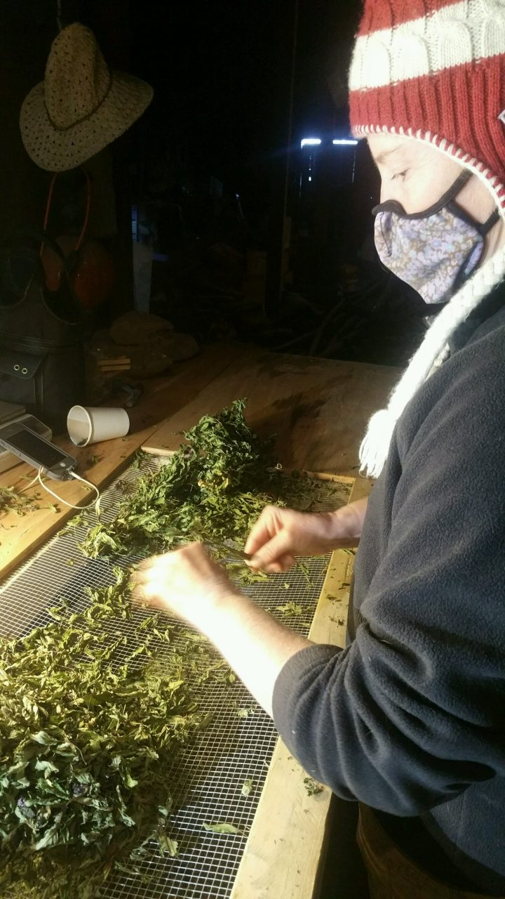 Kim processing/garbling herbs for Sanctuary herbs of Providence—lots of peppermint tea coming your way | Blue Skys Farm Cranston RI