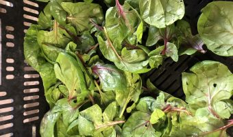 Red Bordeaux spinach | Blue Skys Farm, Cranston, RI