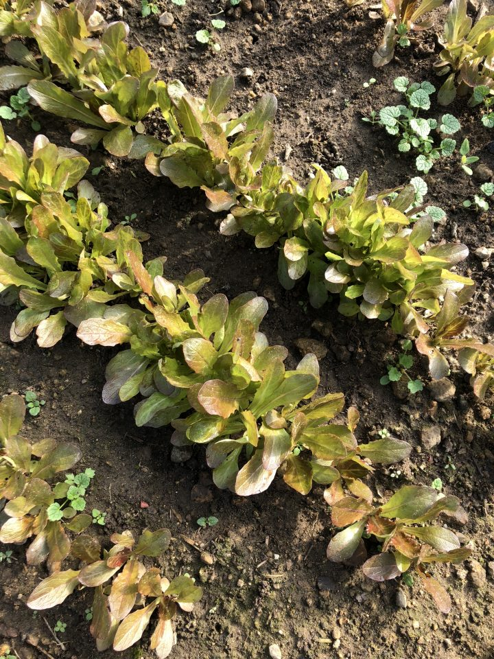 Rouge d'hiver lettuce—very hardy variety for winter