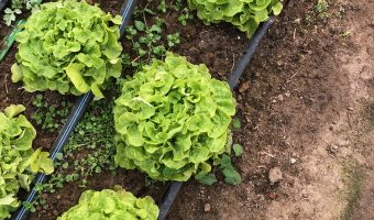 Lettuce lives even after below zero temps! Thanks to high tunnels!