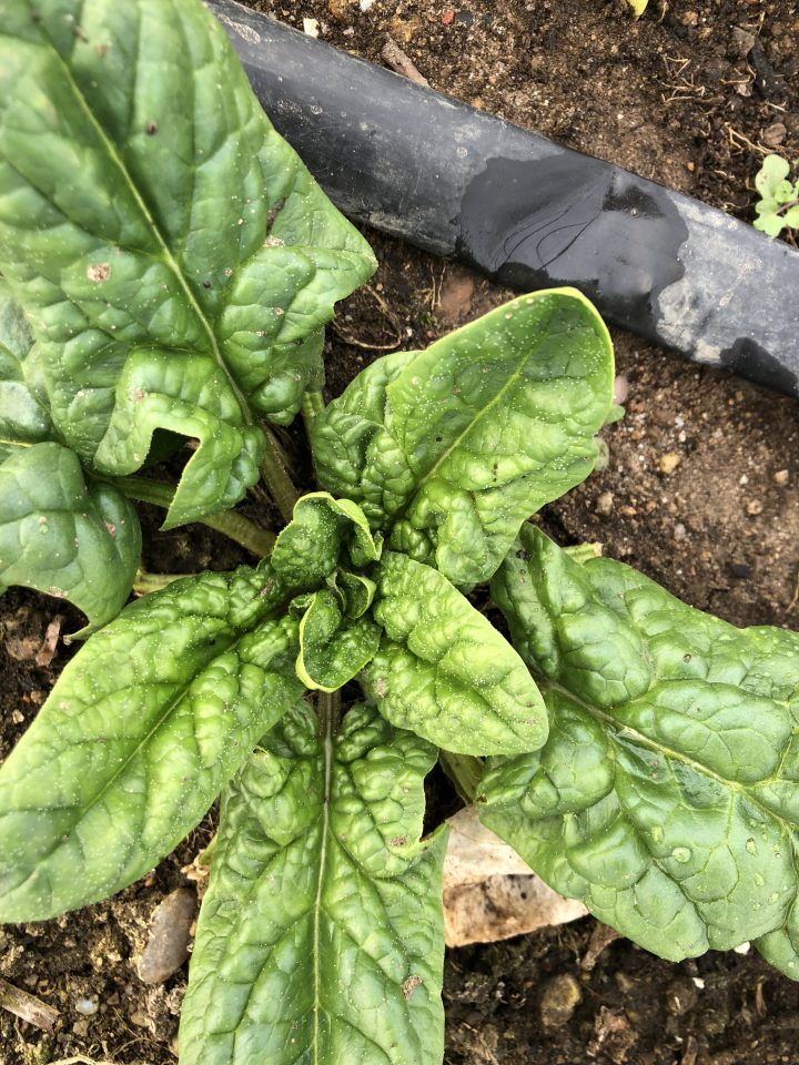 Ever hardy spinach!