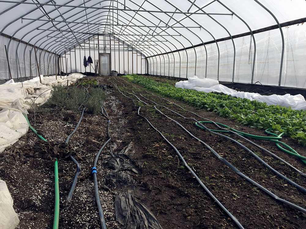 Our high tunnel in February. A high tunnel is an unheated greenhouse that allows farmers to extend the growing seasons and have a more natural, four-season harvest. Far Left: Overwintering Lisianthus… trying to keep them warm enough to live and have an early crop. 2nd row: Overwintering Rosemary. 3rd Row: Carrots… are you there? 4th Row: Hakurei Turnip and Watermelon Radish.