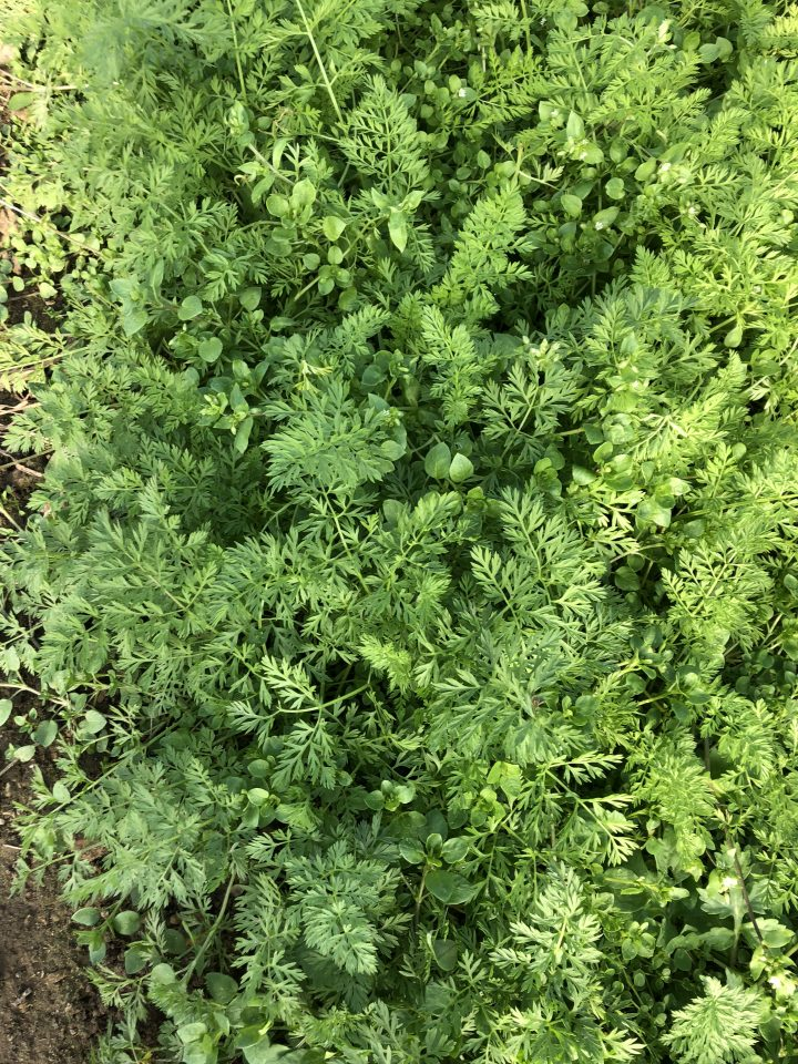 Very pretty carrot tops